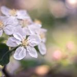 Apfelblüte. 2012.