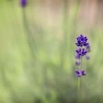 Lavendel. 2012.