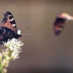 Schmetterling. 2012.